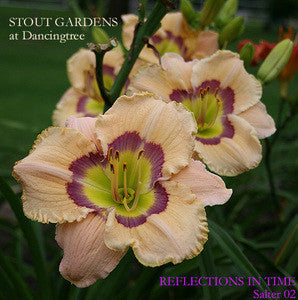 Daylily REFLECTIONS IN TIME