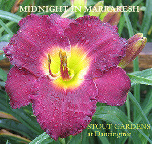 Daylily MIDNIGHT IN MARRAKESH