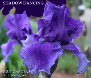 Iris SHADOW DANCING