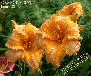 Daylily ORANGE VELVET
