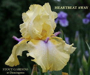 Iris HEARTBEAT AWAY