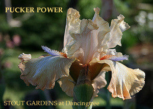 Iris PUCKER POWER