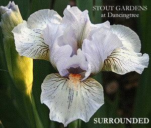 Iris SURROUNDED