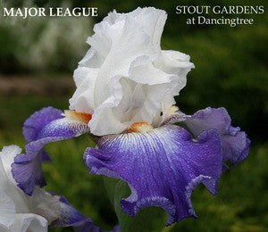 Iris MAJOR LEAGUE