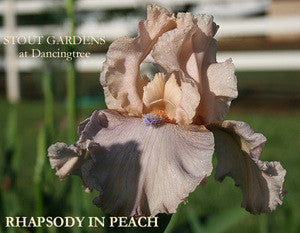 Iris RHAPSODY IN PEACH