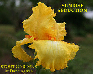 Iris SUNRISE SEDUCTION