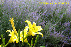 Daylily TETRINAS DAUGHTER