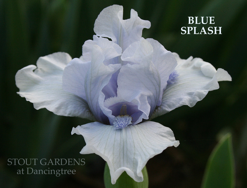Iris Blue Splash