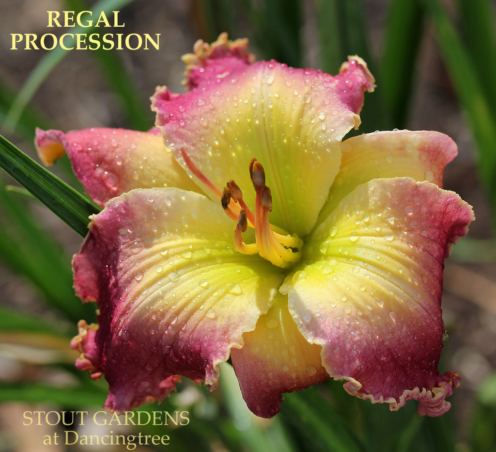 Daylily Regal Procession