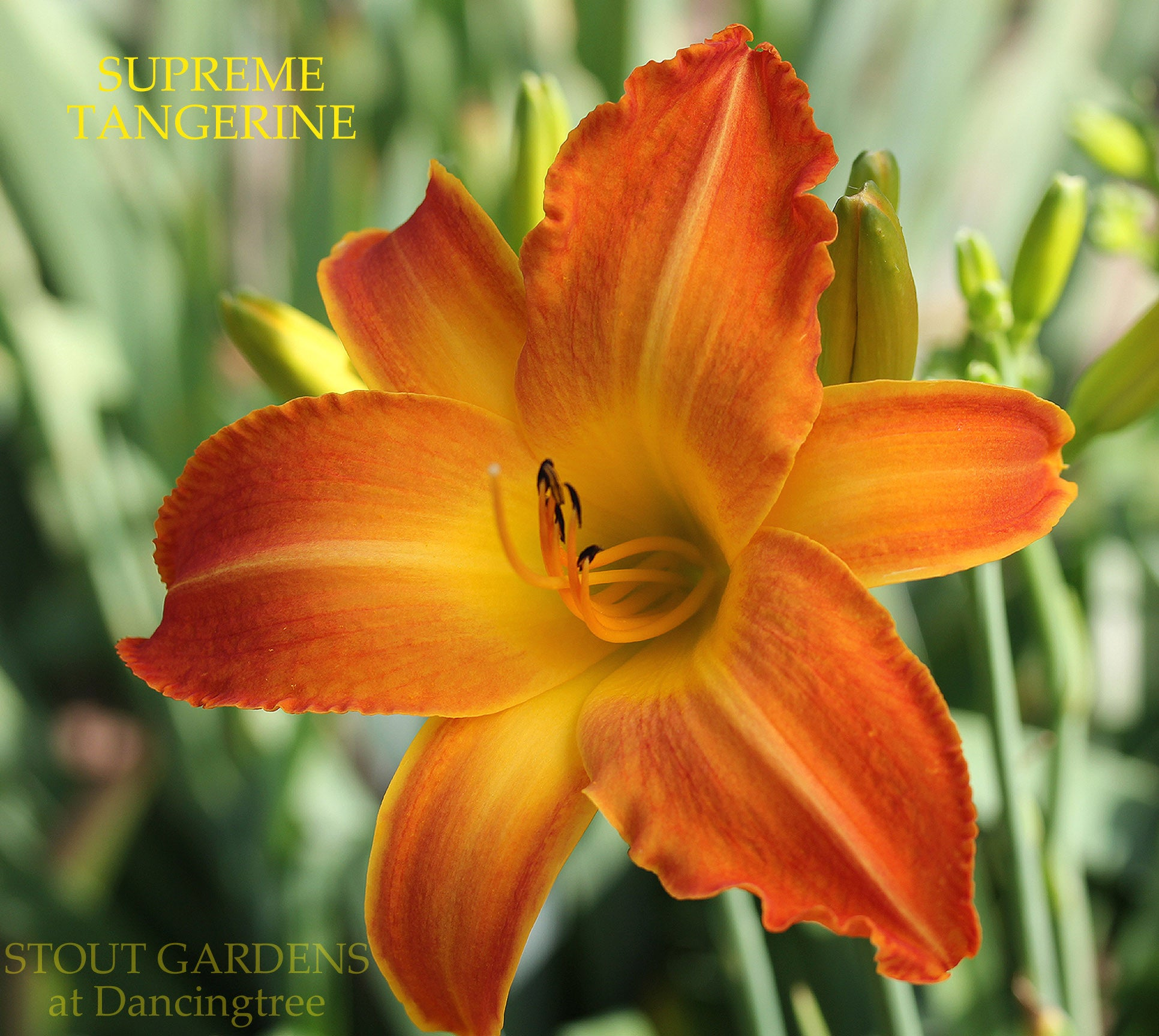 Daylily Supreme Tangerine Stout Gardens At Dancingtree