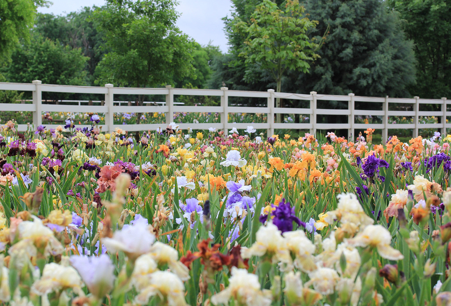 FINE IRIS AND DAYLILIES