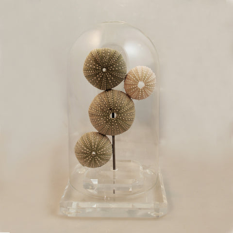 Urchin Arrangement Under Glass