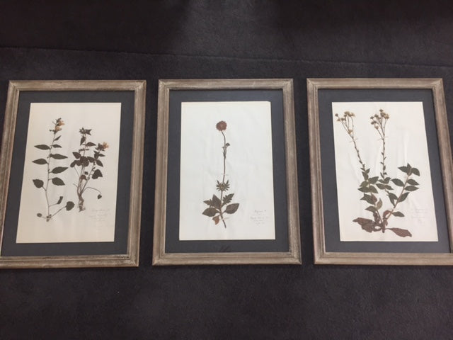 Framed Botanical prints