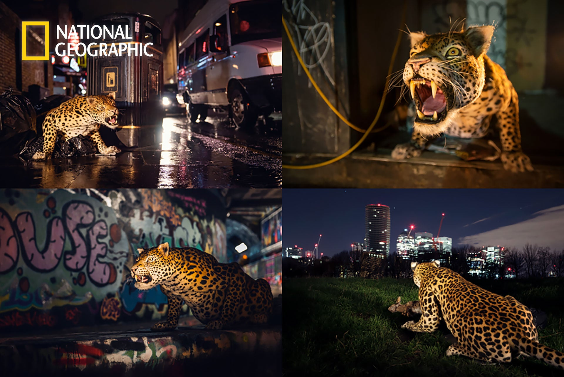 Big Cats Week by National Geographic