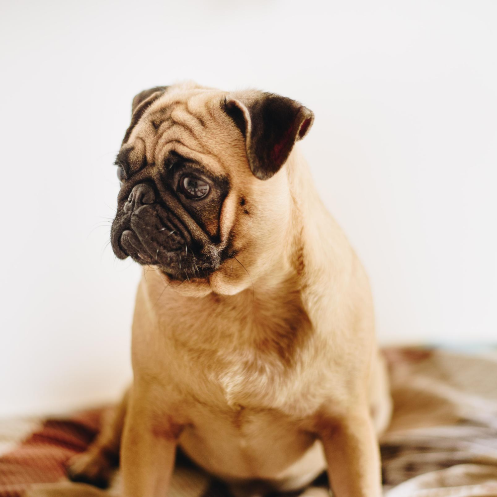 Guidelines to Feed your Pug Dogs, pug on bed