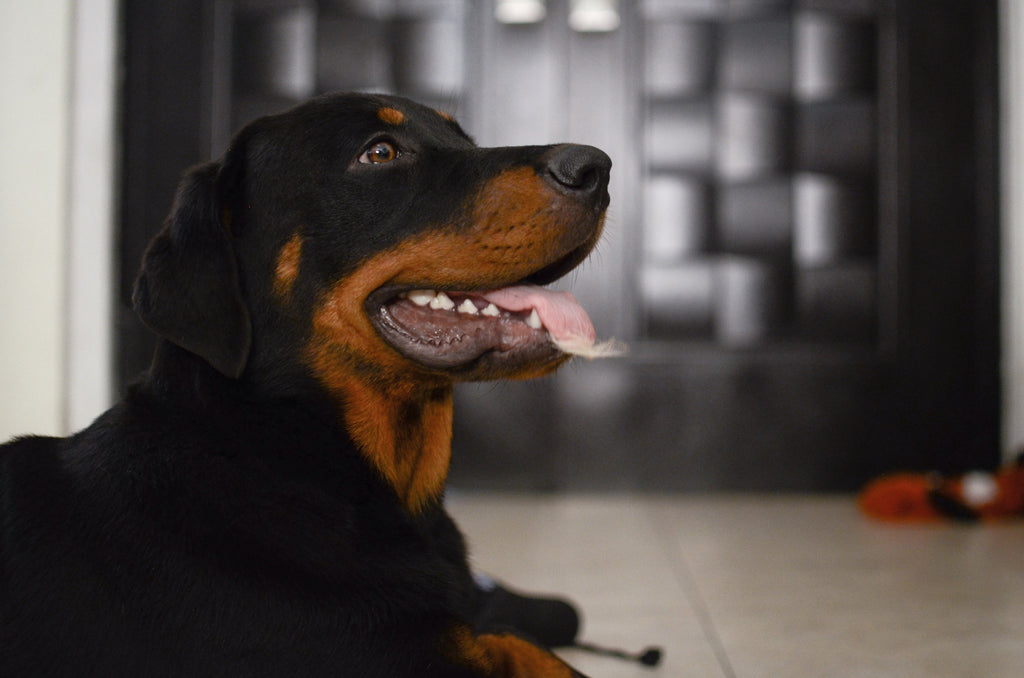 Feeding guidelines for Rottweilers, Rottweiler