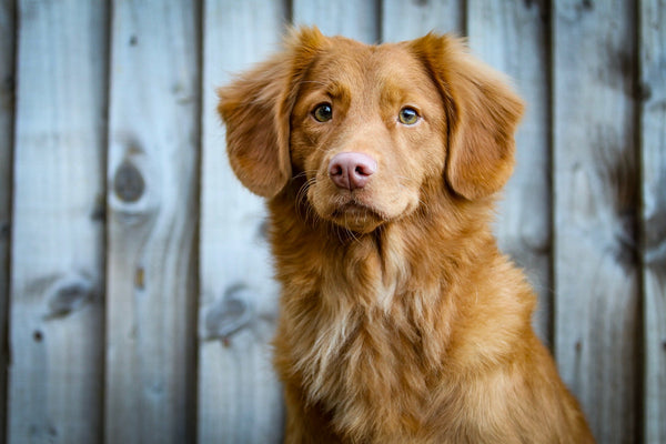 Canine Distemper in Dogs