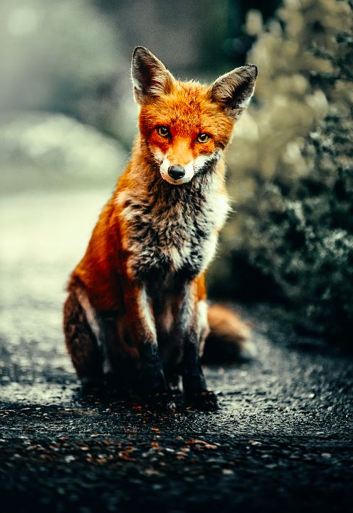 Curious Fox - Photo by Alex Andrews - The Diamond Painting Factory