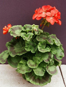 "Zonal Geraniums  4.5""  pack of 6"