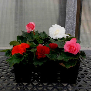 "Begonias - Nonstop Series (3.5"" Pot)"