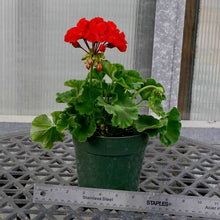 "Load image into Gallery viewer, Geranium (5"" Pot)"