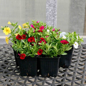 "Calibrachoa - Callie Series (3.5"" Pot)"