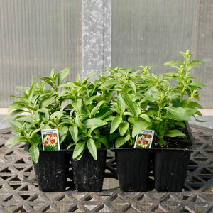 Snapdragons - Twinny/Dwarf Mix (Jumbo Packs