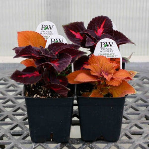 "Coleus - Colorblaze Series (3.5"" Pot)"