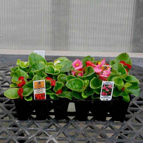 Fibrous Begonia (Pack)