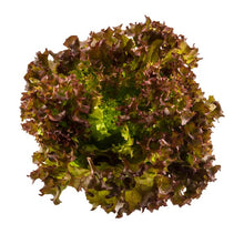 Load image into Gallery viewer, Living lettuce red batavia  each bundle