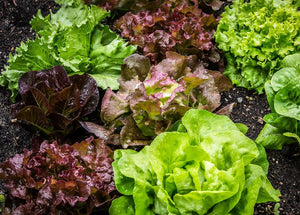 Living lettuce red batavia  each bundle