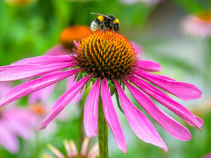 Products with Echinacea from Kuumba Made