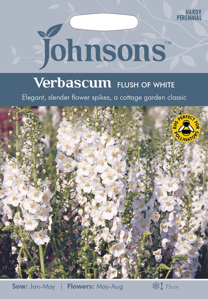 VERBASCUM Flush of White
