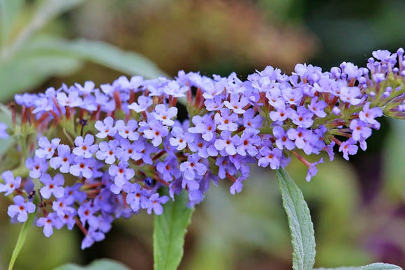 Butterfly Bush - Buzz Sky Blue !