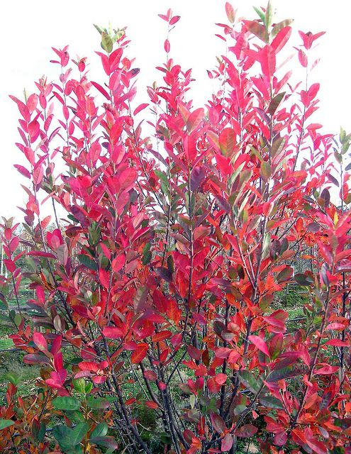 Serviceberry Rainbow Pillar - rose house !