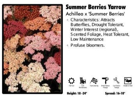 Achillea 'Summer Berries' Yarrow