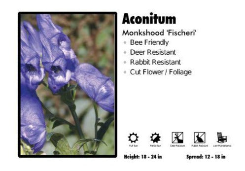Aconitum 'Fischeri' Monkshood