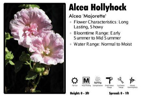 Alcea 'Majorette Mix' Hollyhock