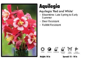 Aquilegia 'Origami Red and White' Columbine