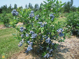 Blueberry Blue crop Early (2) sizes