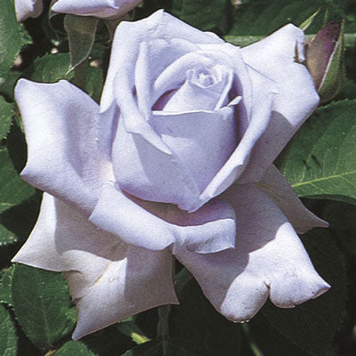 Rose Blue Girl Hybrid Tea
