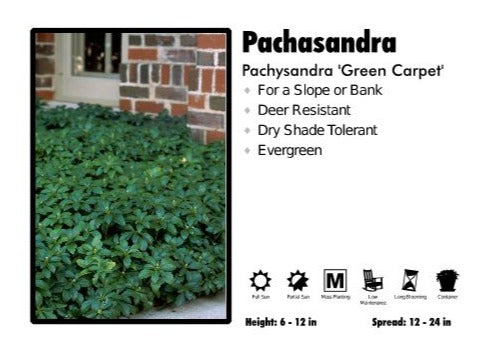 3 for 21 Pachasandra 'Green Carpet' Pachysandra