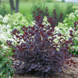 Smoke Bush Winecraft Black
