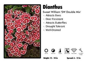 Dianthus 'SW Double Mix' Sweet William