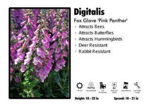 Digitalis 'Pink Panther' Foxglove