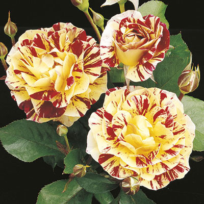 Rose George Burns Floribunda