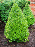 Boxwood green mountain pyd