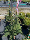 Spruce Cobra Weeping Norway evergreen house !