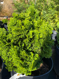 Hinoki Cypress Dianne Verkade evergreen house !