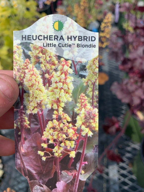 Heuchera 'Little cutie blonde'